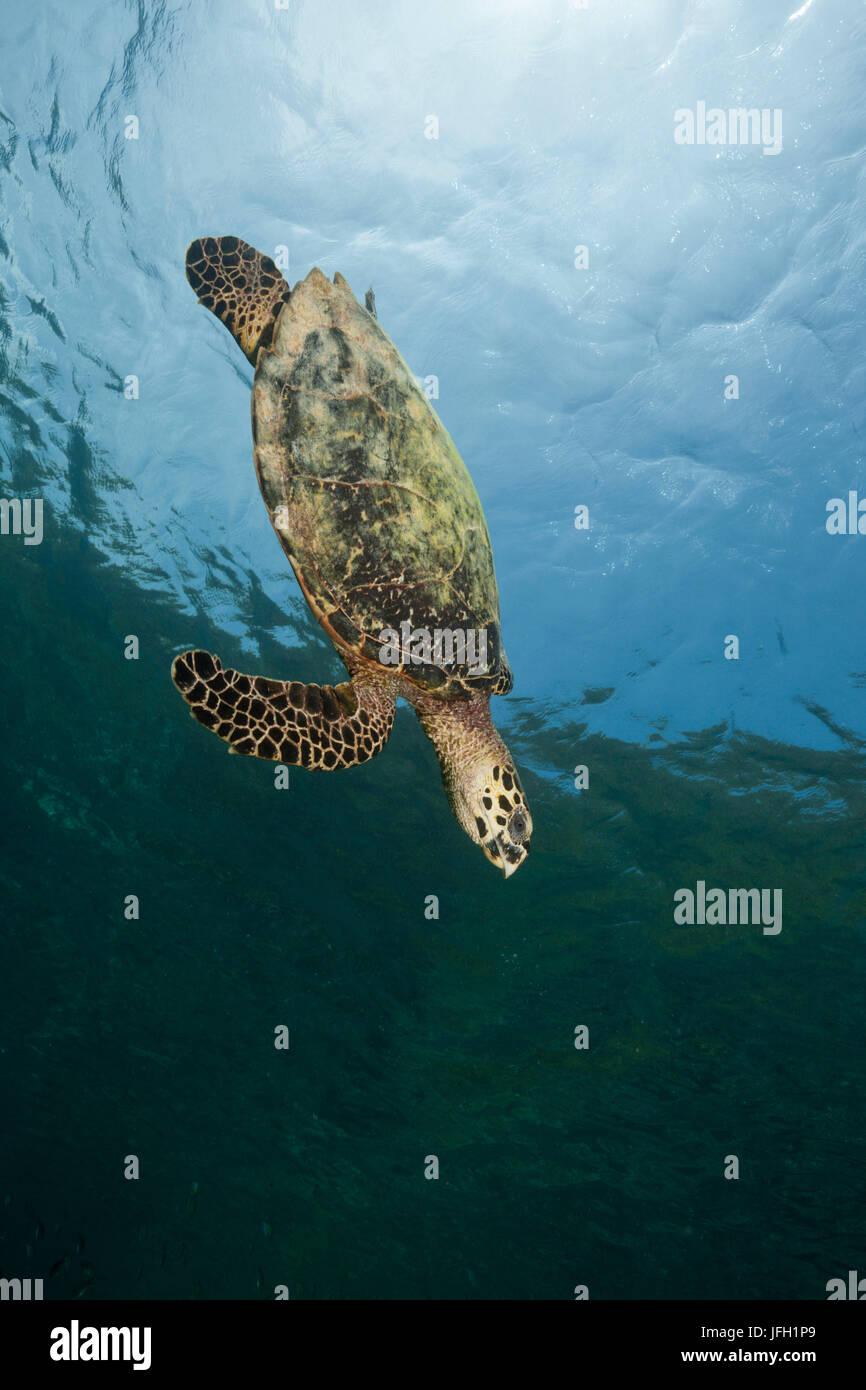 tortoiseshell turtle, Eretmochelys imbricata, Raja Ampat, west Papua, Indonesia - Stock Image
