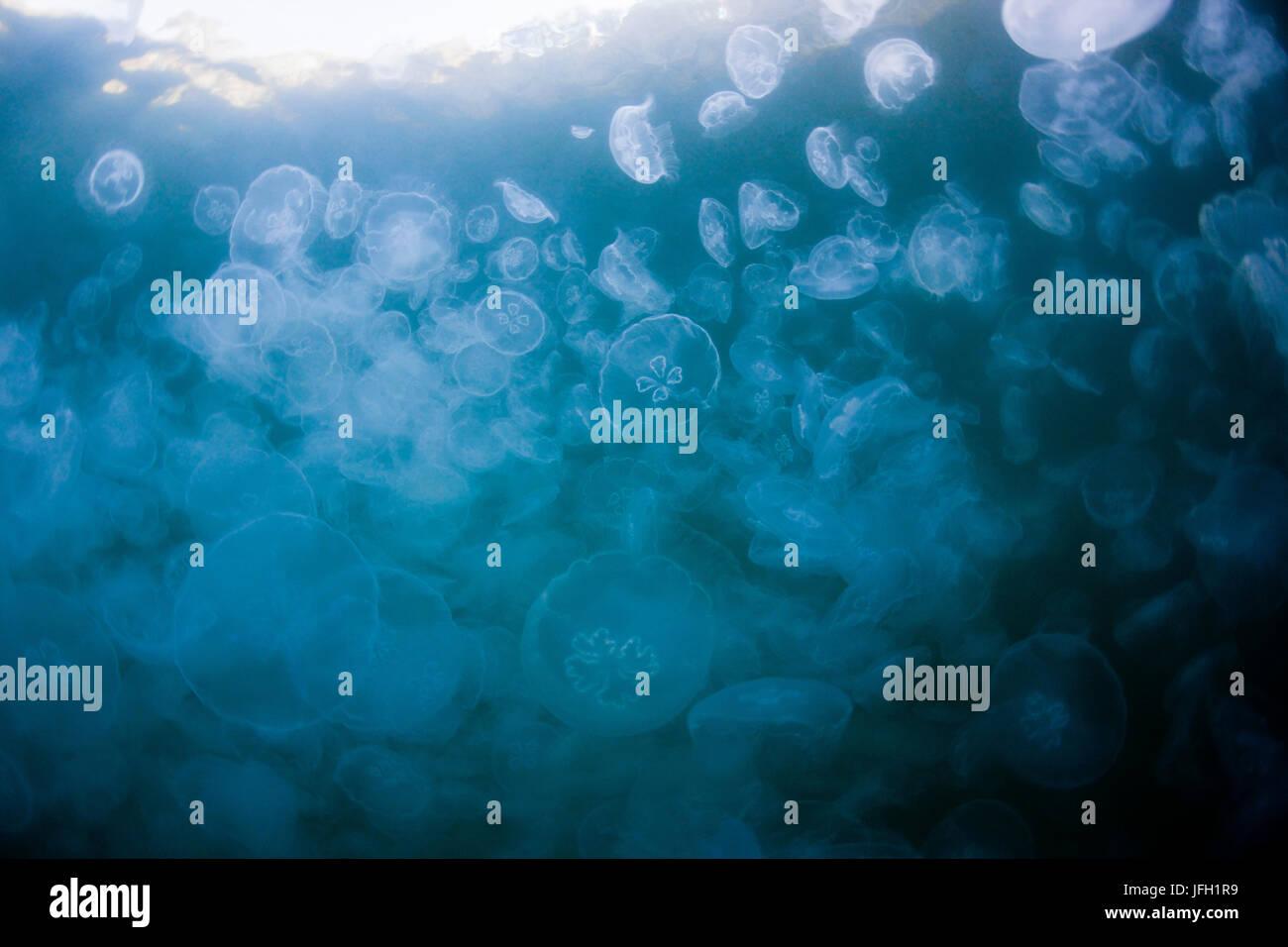 Aggregation of ear jellyfishes, Aurelia aurita, Raja Ampat, west Papua, Indonesia - Stock Image