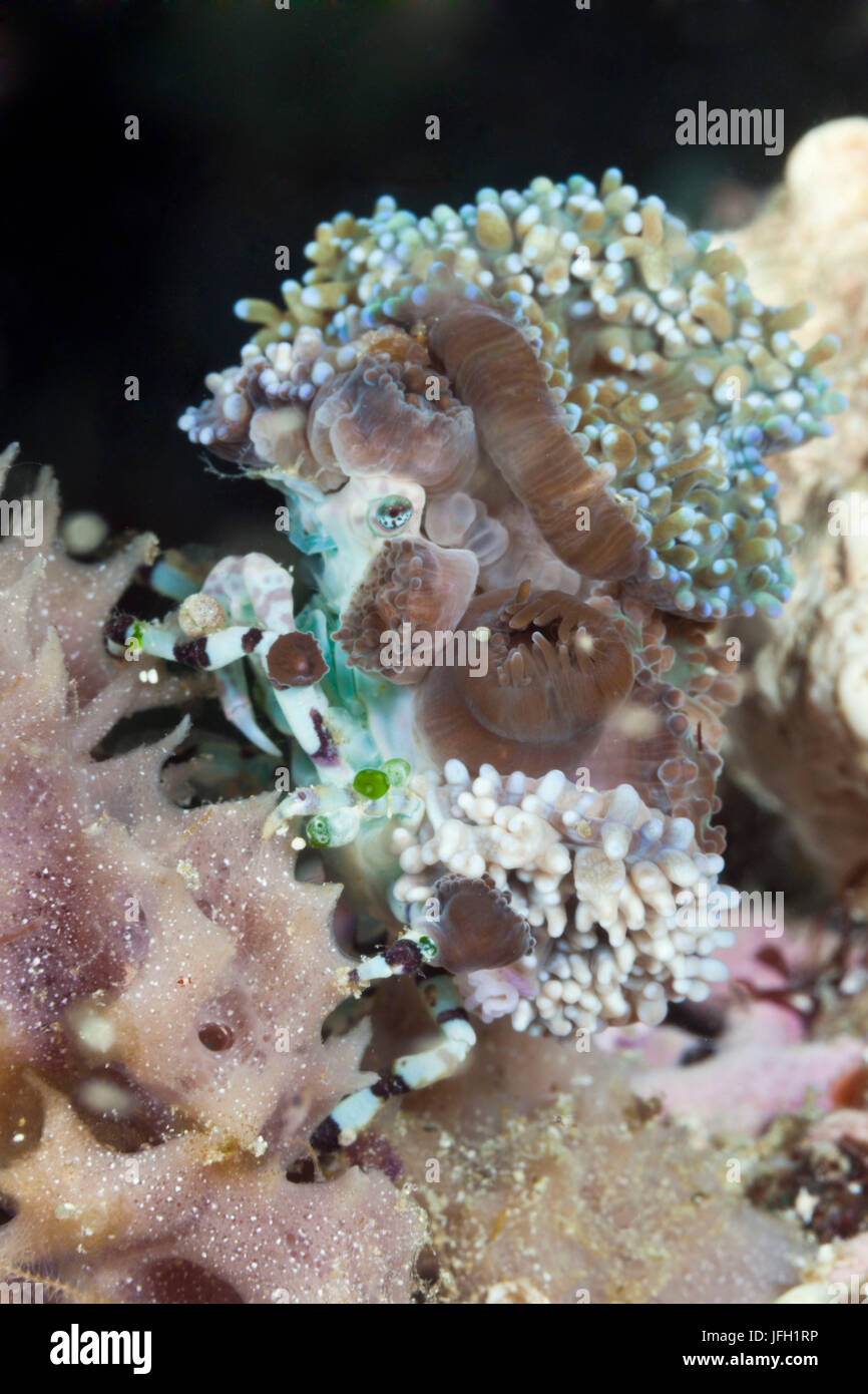 Spinning crab camouflages herself with anemones, Cyclocoeloma tuberculata, ambon, the Moluccas, Indonesia Stock Photo
