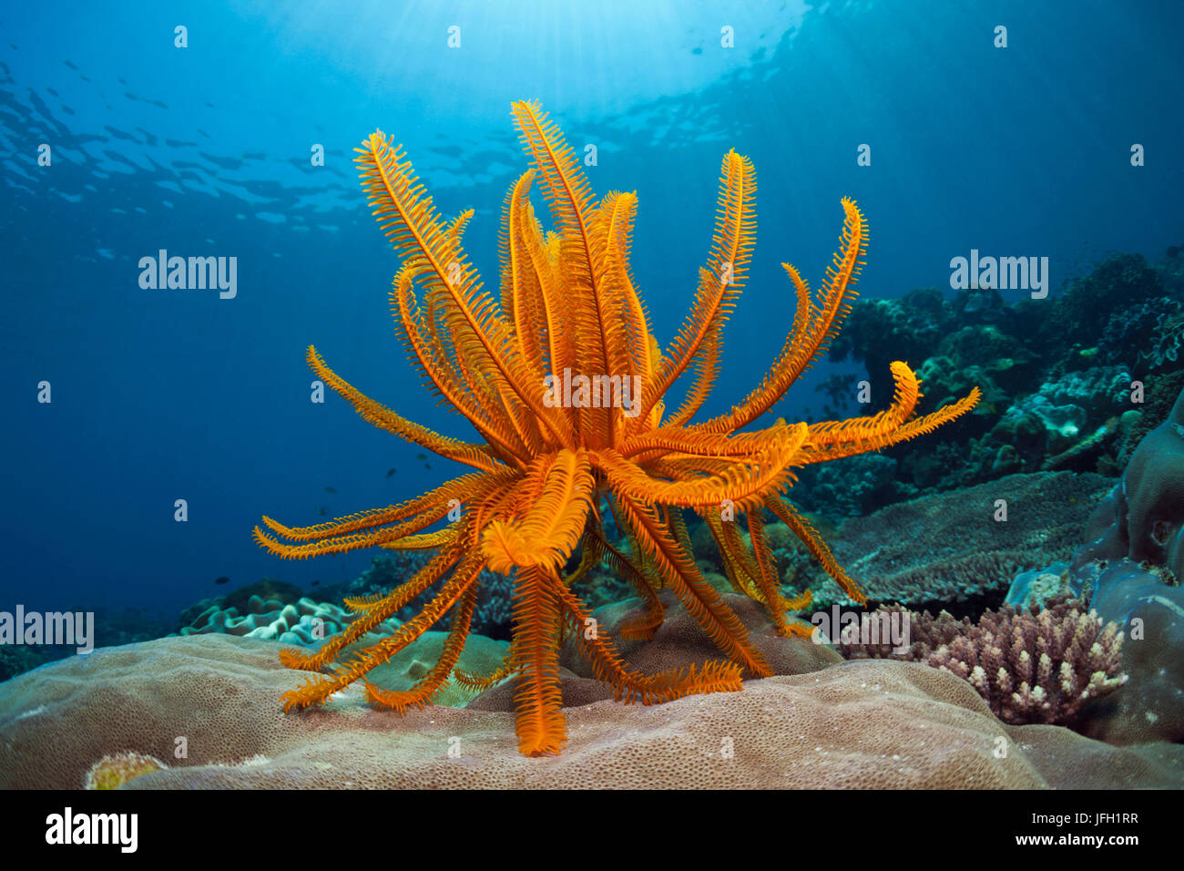 Prachthaarstern in the reef, Comanthina schlegeli, ambon, the Moluccas, Indonesia Stock Photo