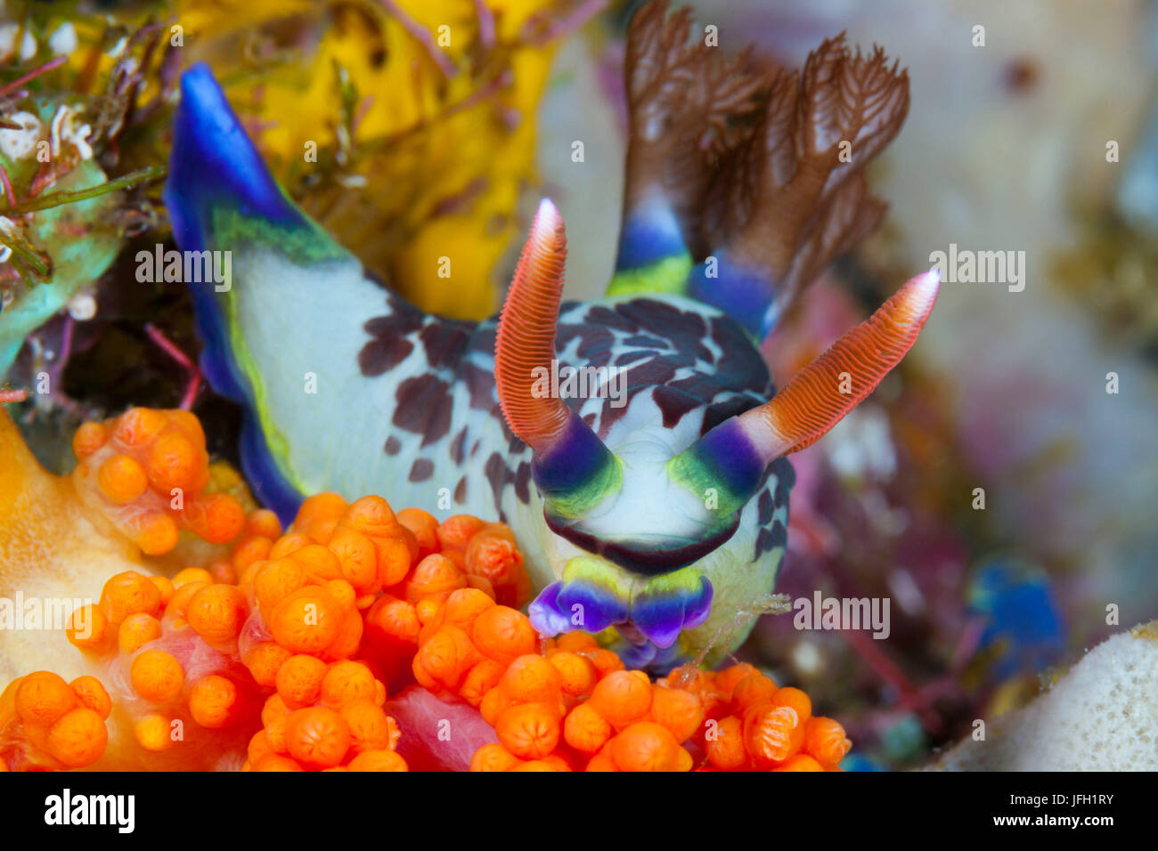 Coloured variable neon slug, Nembrotha purpureolineolata, ambon, the Moluccas, Indonesia Stock Photo