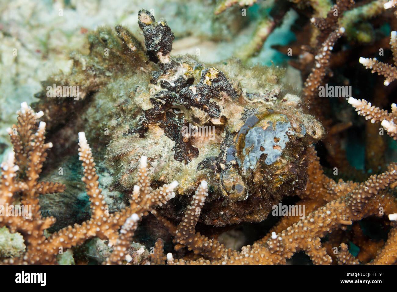 Real stone fish, Synanceia verrucosa, ambon, the Moluccas, Indonesia Stock Photo