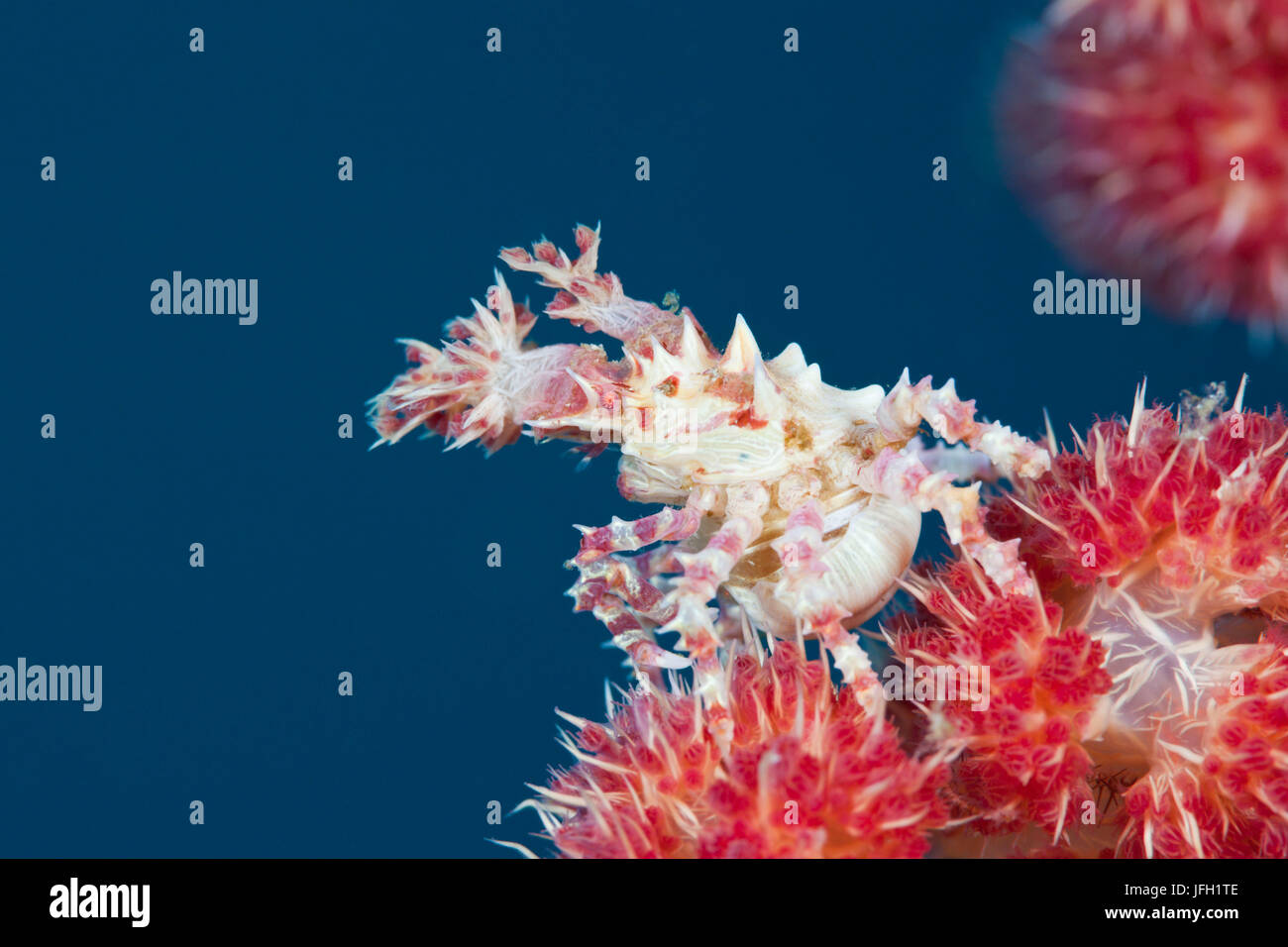 Weichkorallen-spinning crab, Hoplophrys oatesii, ambon, the Moluccas, Indonesia - Stock Image
