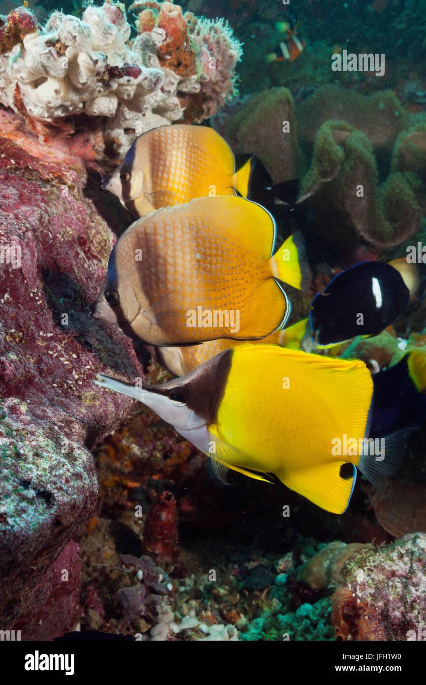 Butterfly's fish eat sfarmer, Chaetodon kleinii, ambon, the Moluccas, Indonesia Stock Photo