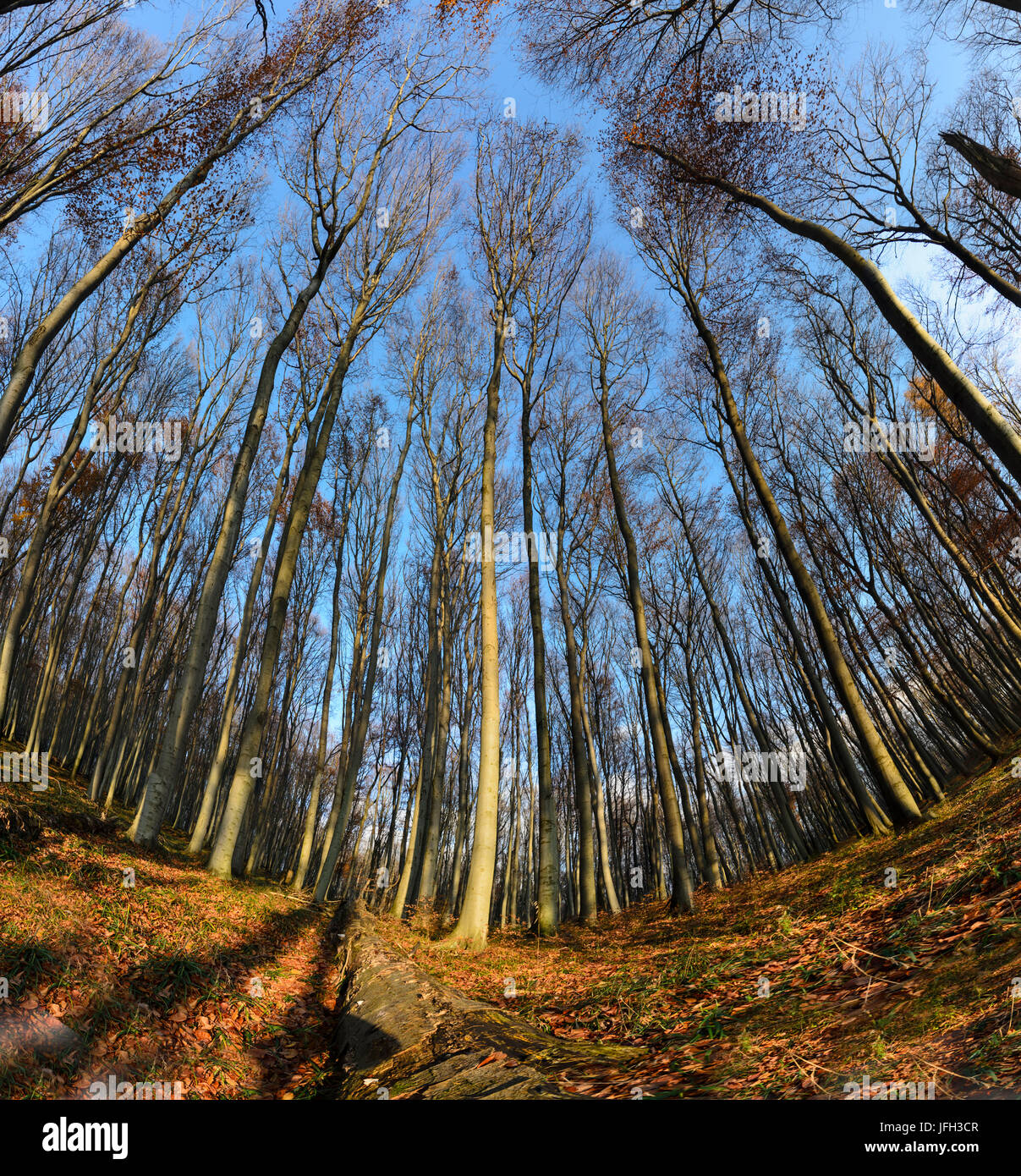 Primeval forest with fallen trees, Austria, Lower Austria, Viennese wood, Mauerbach - Stock Image