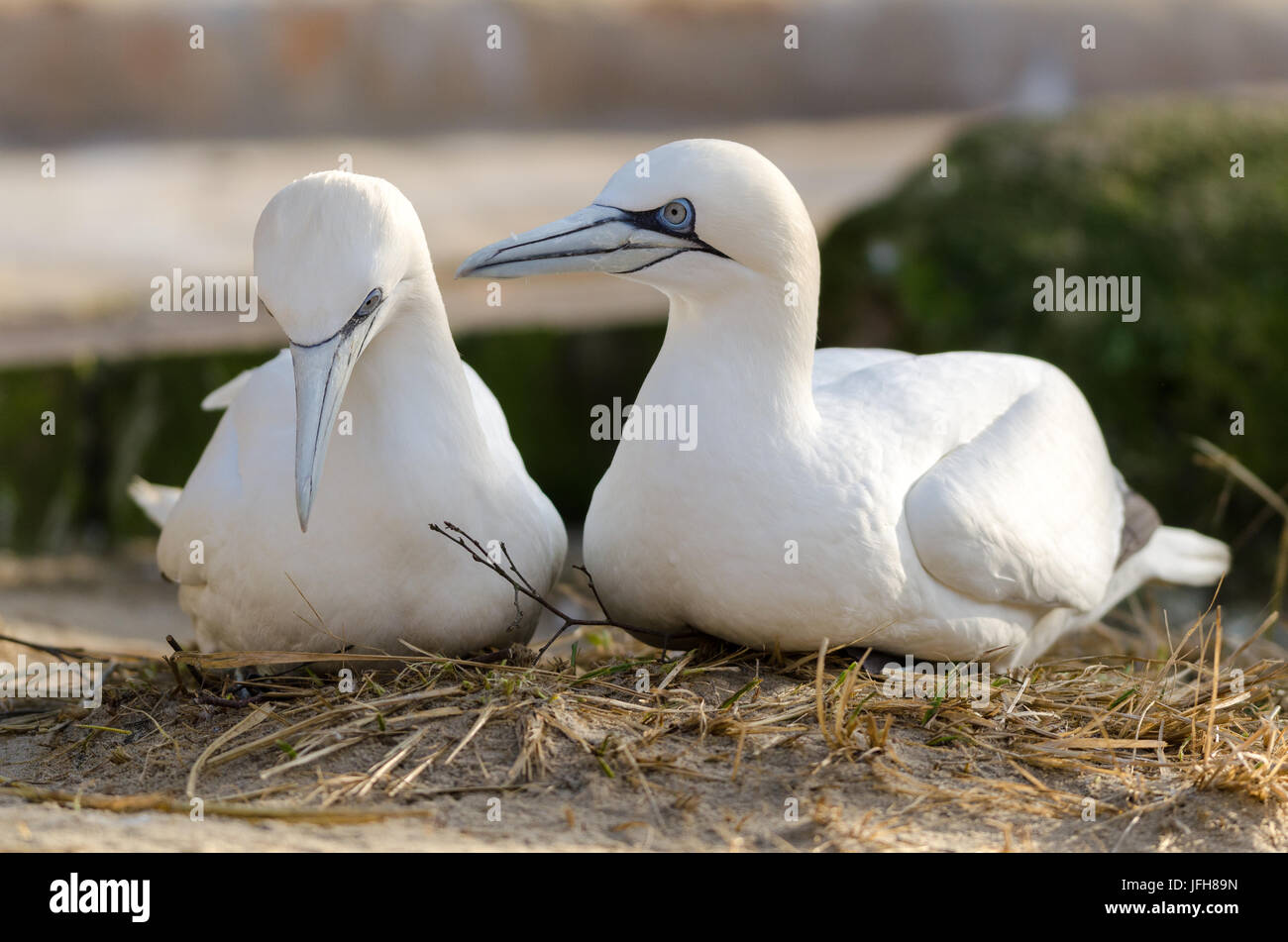 Nothern Gannet. - Stock Image