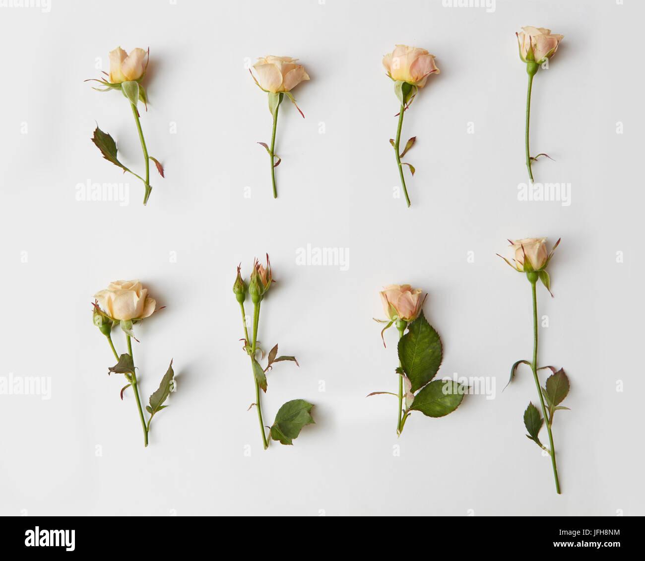 Roses isolated on white Stock Photo