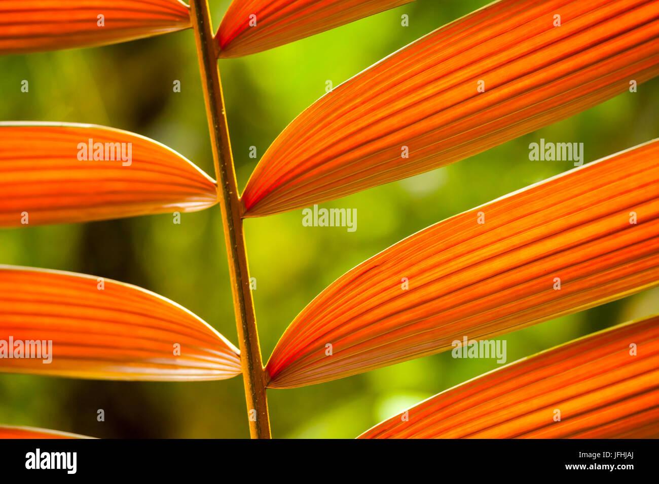 Tropische Pflanze im Regenwald von Costa Rica - Stock Image