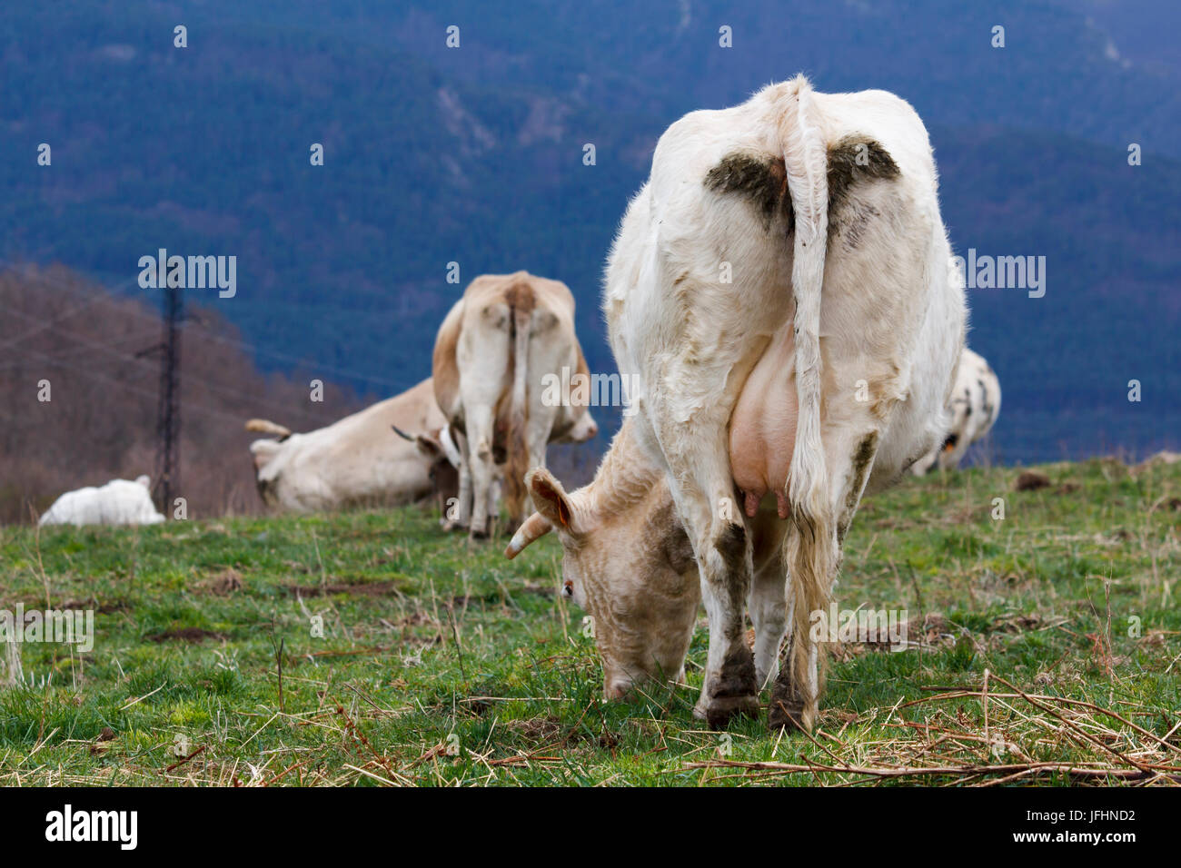 Cow grazing in the mountains, bottom view - Stock Photo
