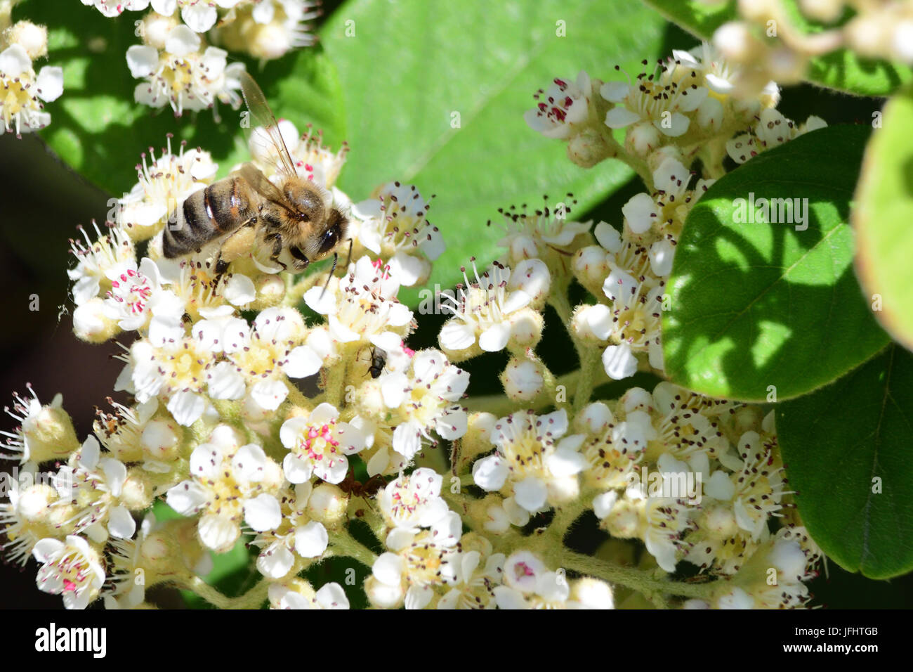 Bee Pollinating Flowers - Stock Image