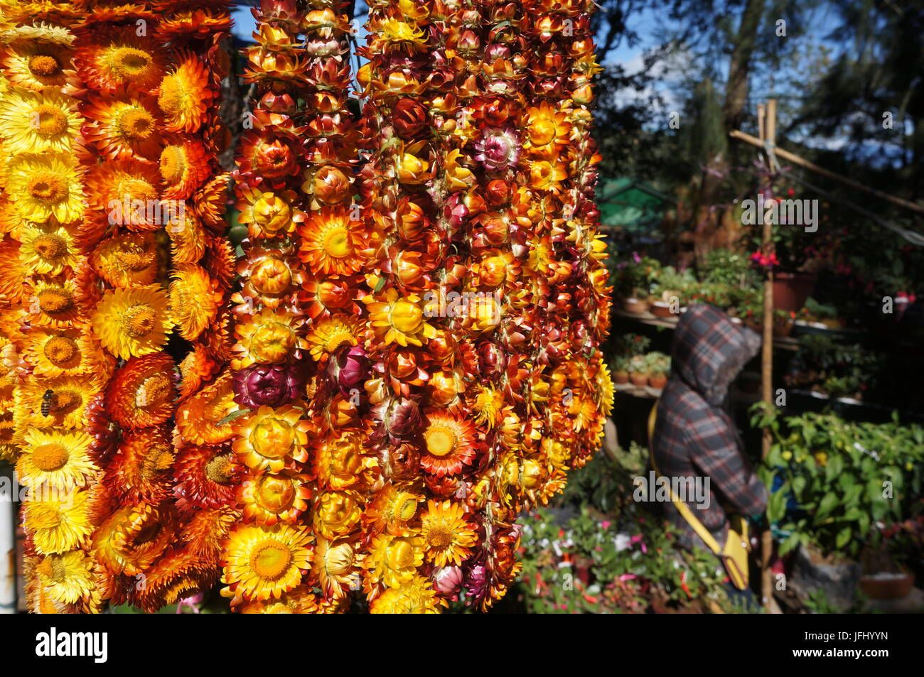 Hanging Everlasting Helichrysum sunflower flowers background, with  bee / wasp.. Retailer hides herself from sun - Stock Image