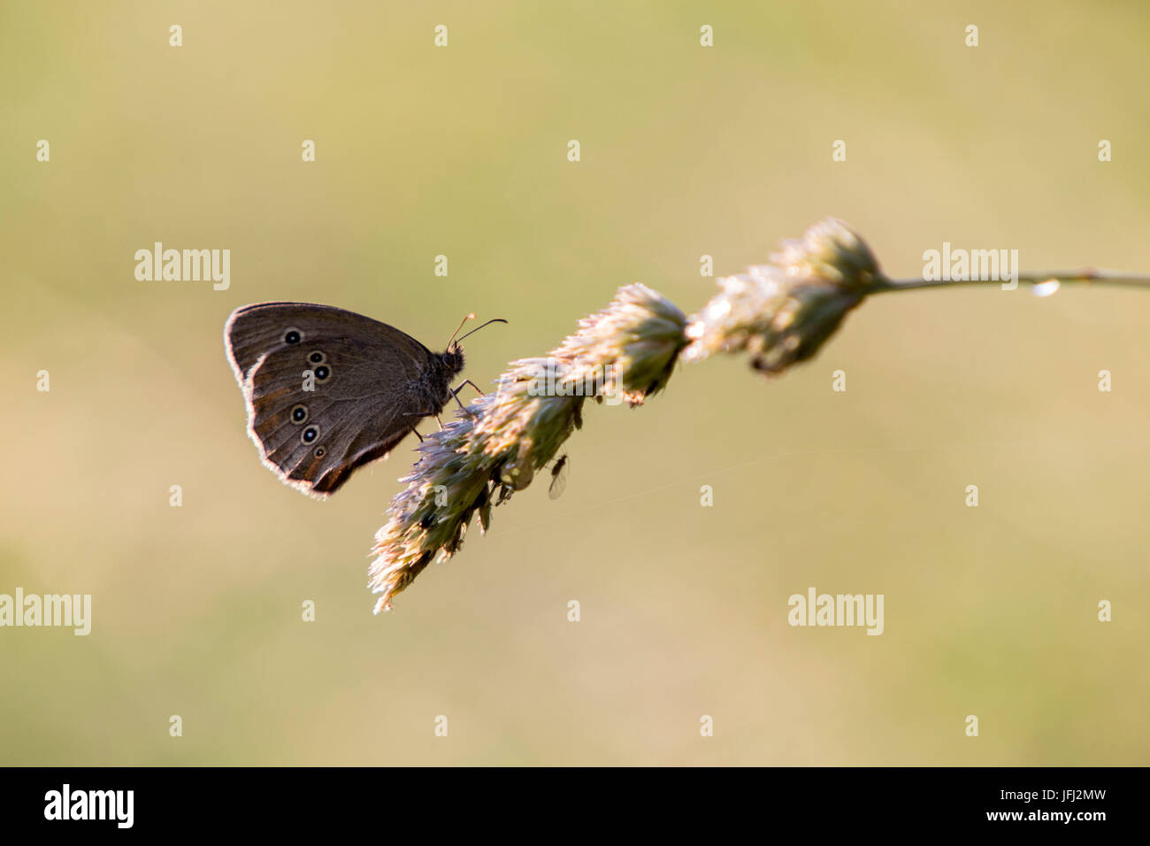 ringlet butterfly on a blade of grass - Stock Image