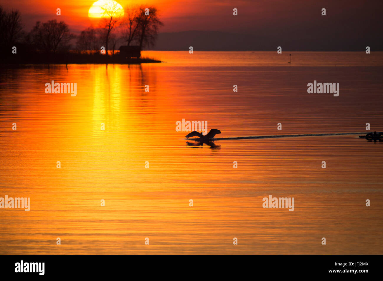 landing swan, sundown, water, shines - Stock Image