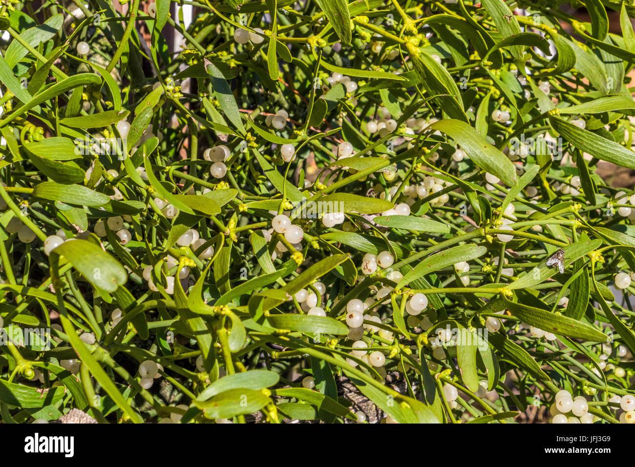 Mistletoes Sprig Of Mistletoe Stock Photo 147300729 Alamy