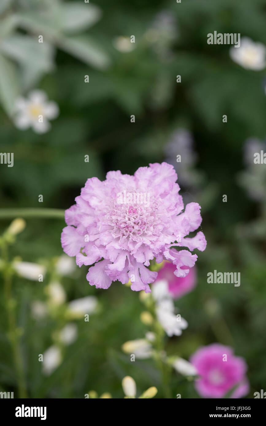 Scabiosa africana 'Jocelyn'. African scabious 'Jocelyn' flower Stock Photo