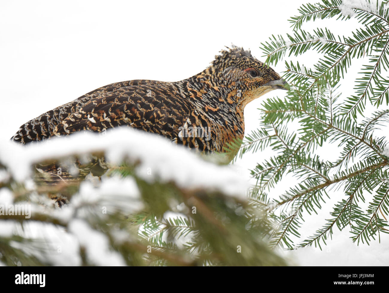 Capercaillie, wood grouse, mating season Stock Photo