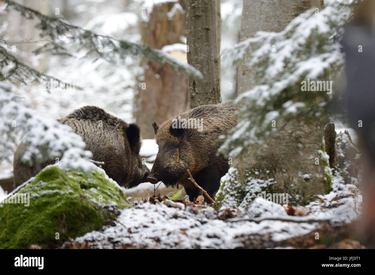 Wild boars in winter - Stock Image