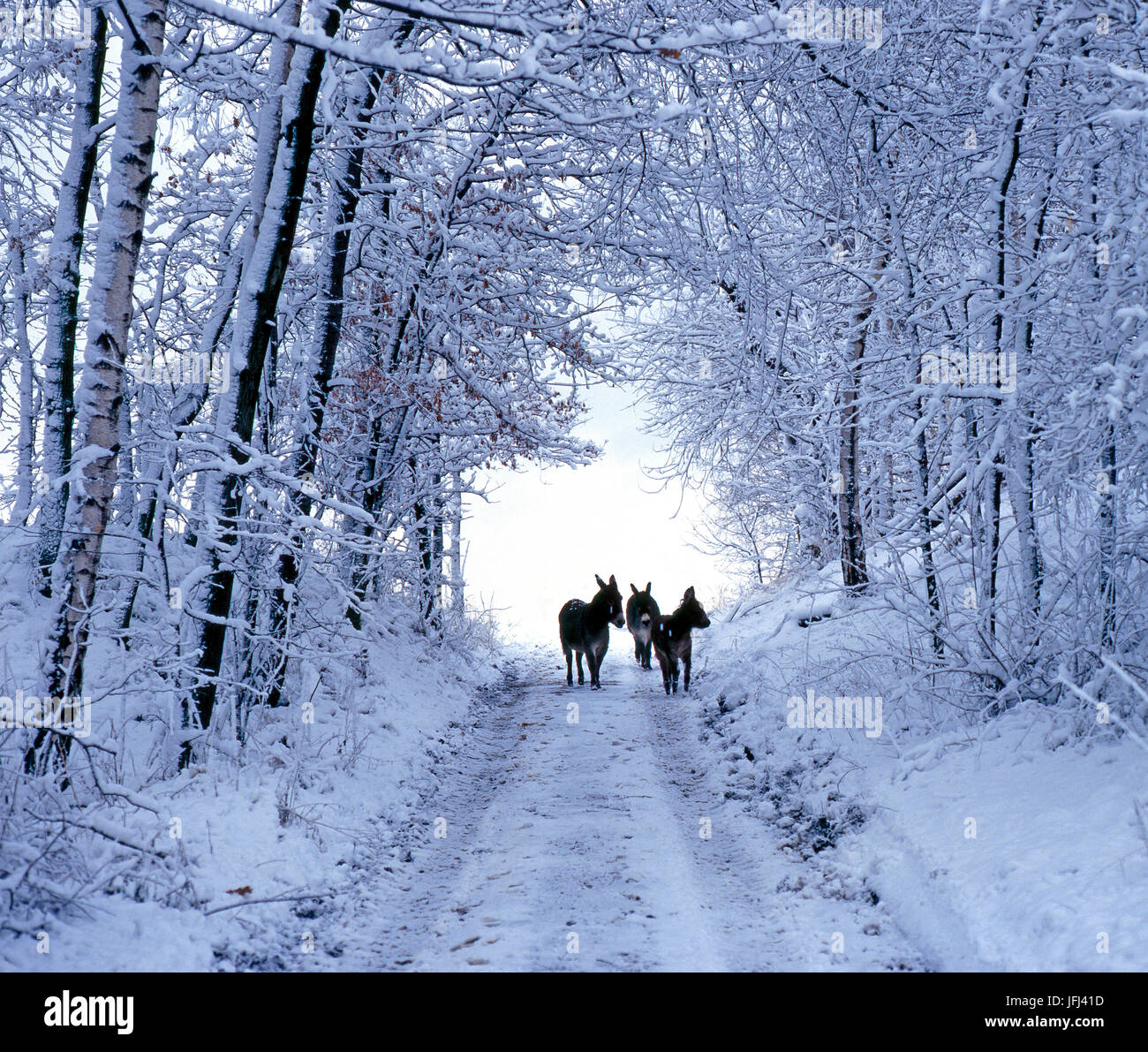 Three donkeys on snow-covered forest way - Stock Image