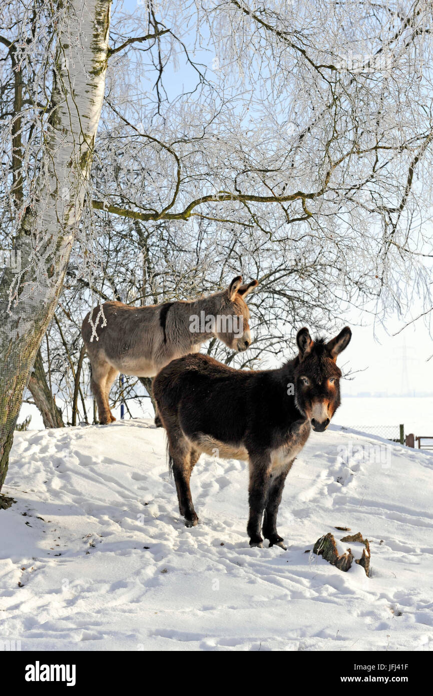Two donkeys brown and grey under frost-covered birches on wintry belt - Stock Image