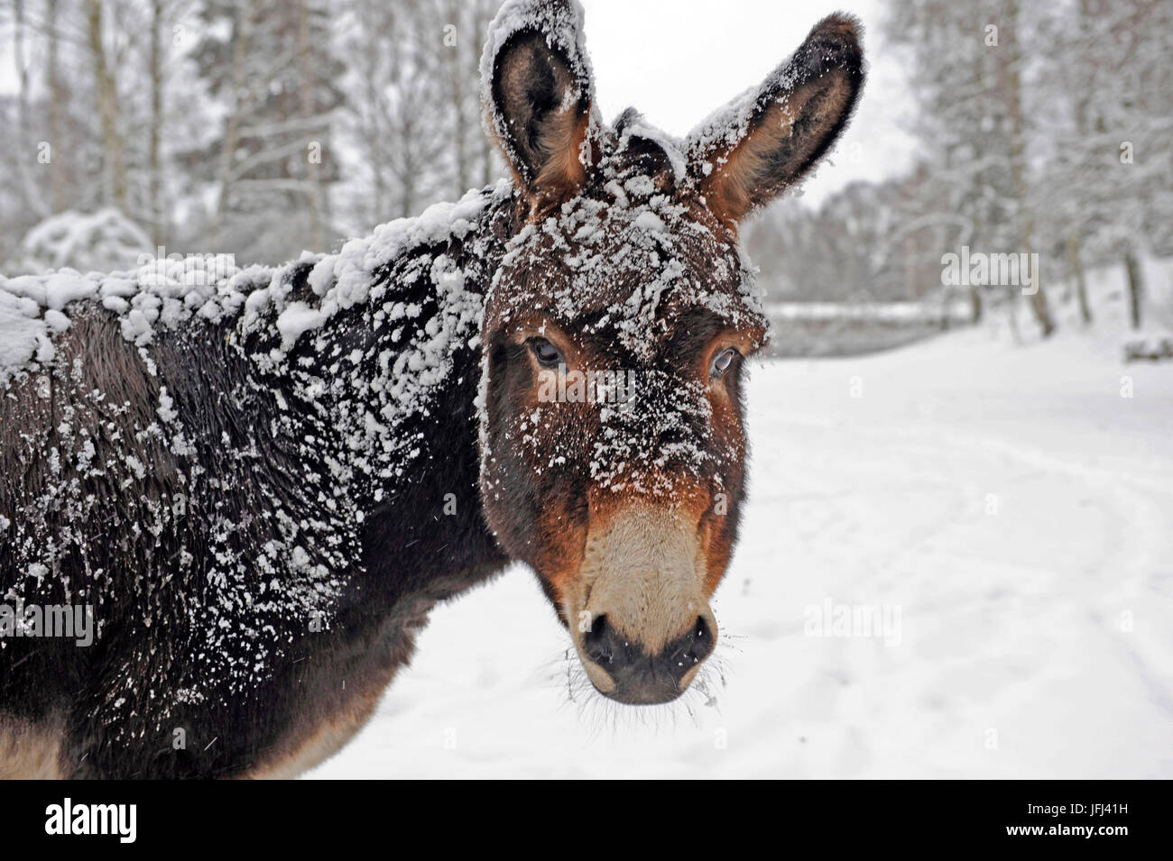 A brown donkey commited with snow on wintry pasture - Stock Image