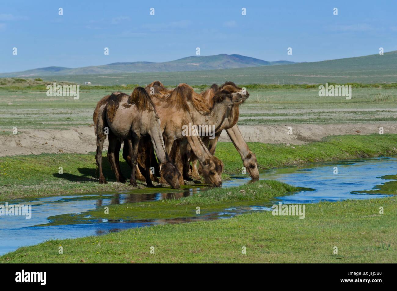 Mongolia, Central Asia, in the Dashinchilen palace ruin of Choghtu Khong Tayiji (Tsogt Taij), camels - Stock Image