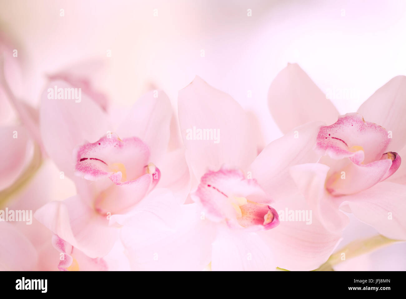 Enchanting pastel pink orchid flowers - Stock Image