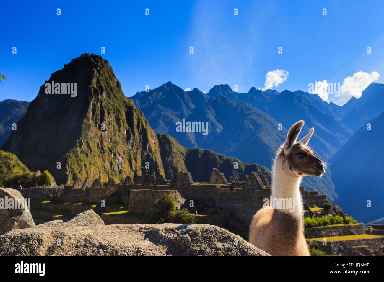 Llama at the iconic archeological site of Machu Picchu in the Cusco Region, Urubamba Province, Machupicchu District, - Stock Image