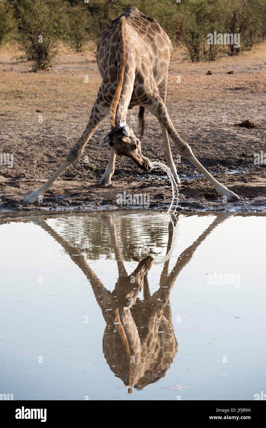 A giraffe drinking from a waterhole in Savuti rea of Chobe National Park - Stock Image