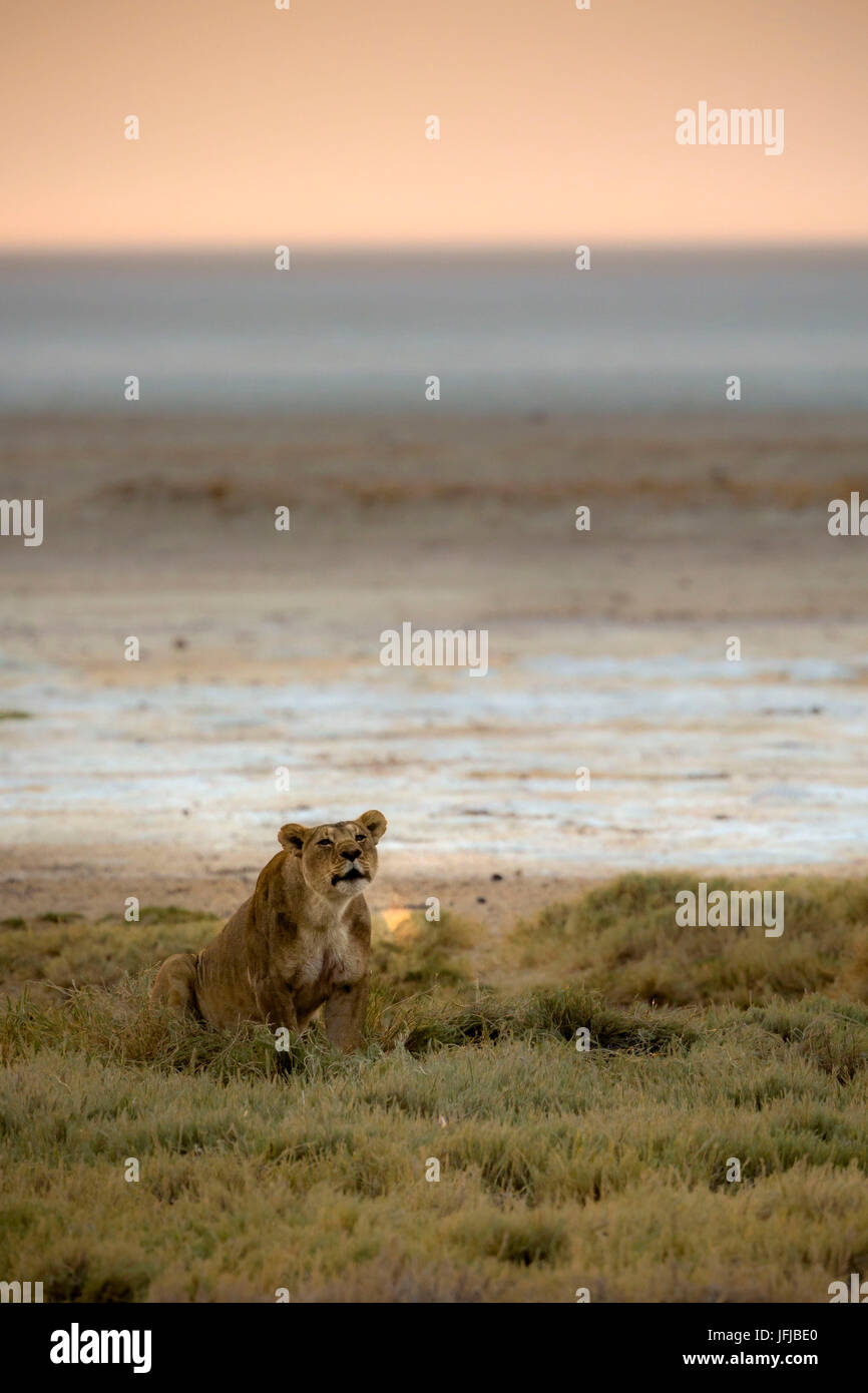 Lioness roaring at sunrise with the breath enhanced by the sunrise light, - Stock Image