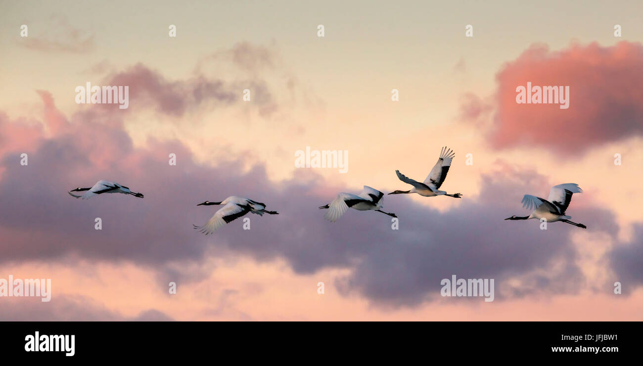 Japanese red crested cranes flying above Akan in hokkaido, at sunset - Stock Image