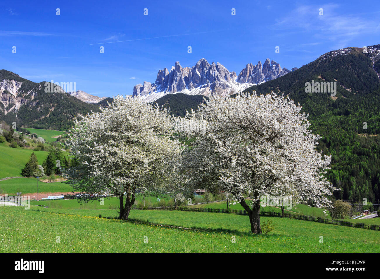 The Odle in background enhanced by flowering trees, Funes Valley, South Tyrol Dolomites Italy Europe - Stock Image