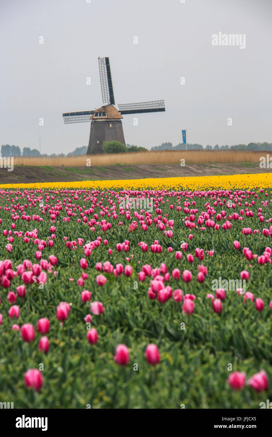 Fields of multicolored tulips and windmill at spring Berkmeer Koggenland North Holland Netherlands Europe - Stock Image