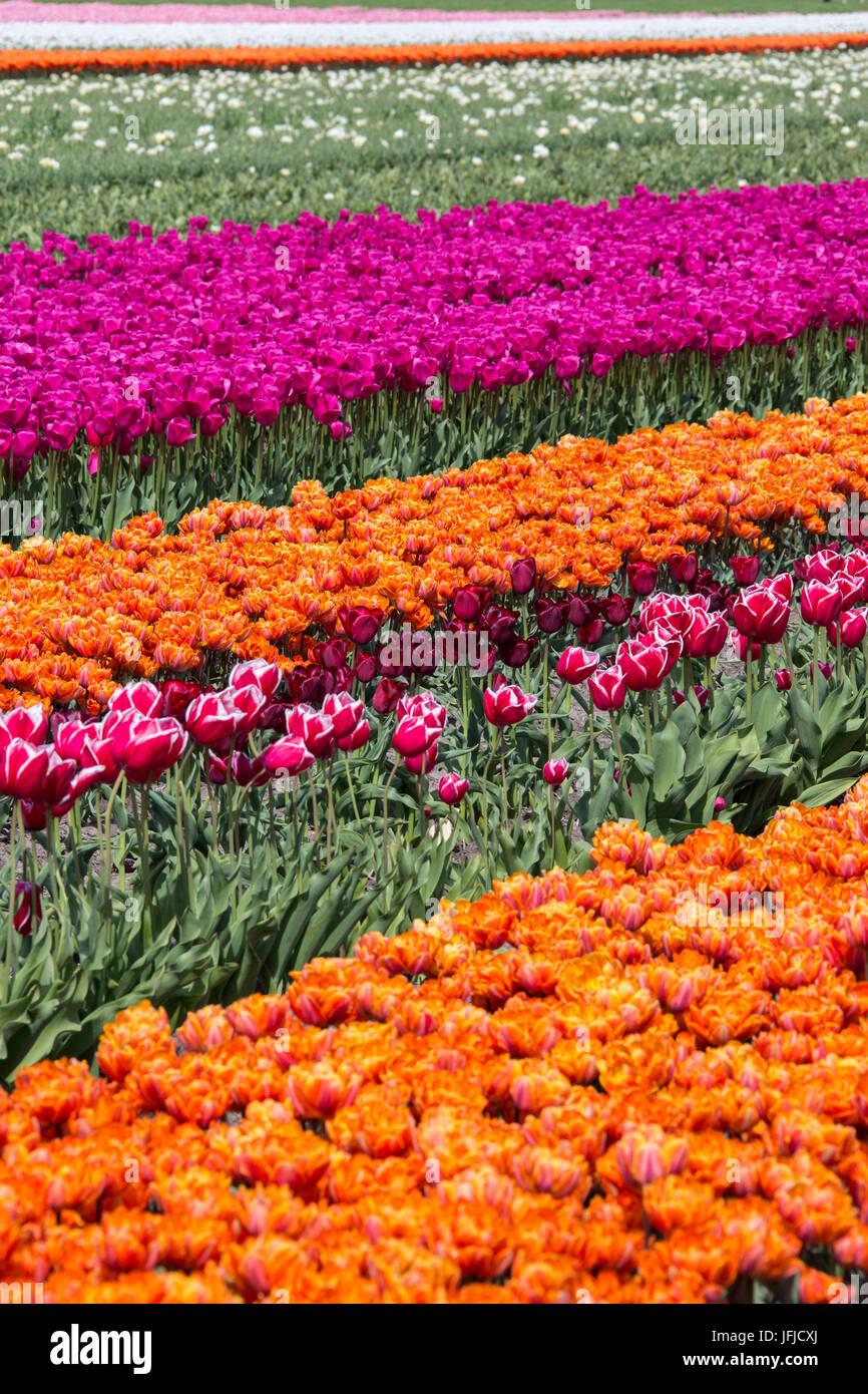Multicolored tulip fields in spring Berkmeer Koggenland North Holland Netherlands Europe - Stock Image