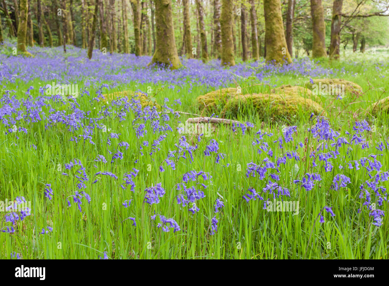 Bluebells Flowers In The Woods Ireland Europe Stock Photo