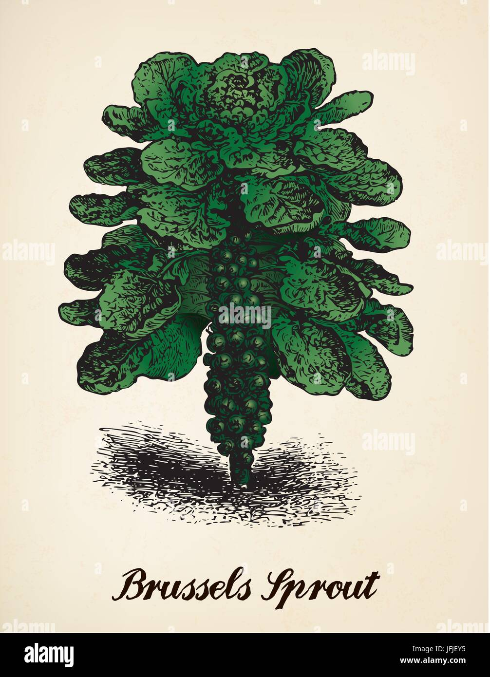 Brussels Sprout vector illustration after vintage engraving from Brockhaus' Konversations-Lexikon, 14th edition, - Stock Image
