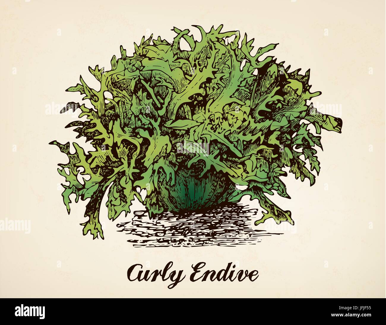 Curly Endive vector illustration after vintage etching from Brockhaus' Konversations-Lexikon, 14th edition, - Stock Image