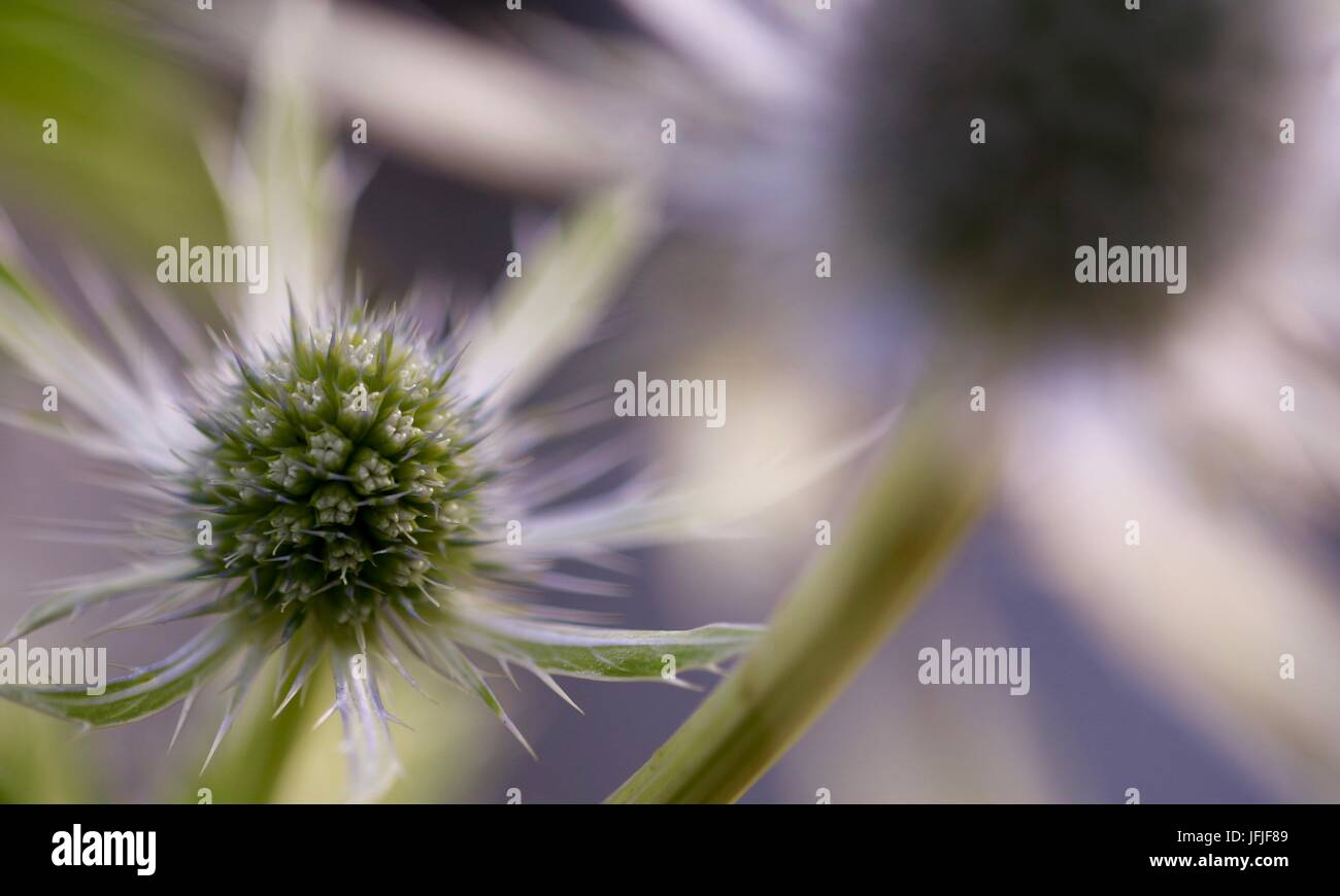Eryngium Neptunes Gold close up flower head with similar flower out of focus in foreground, Shepperton, England, - Stock Image