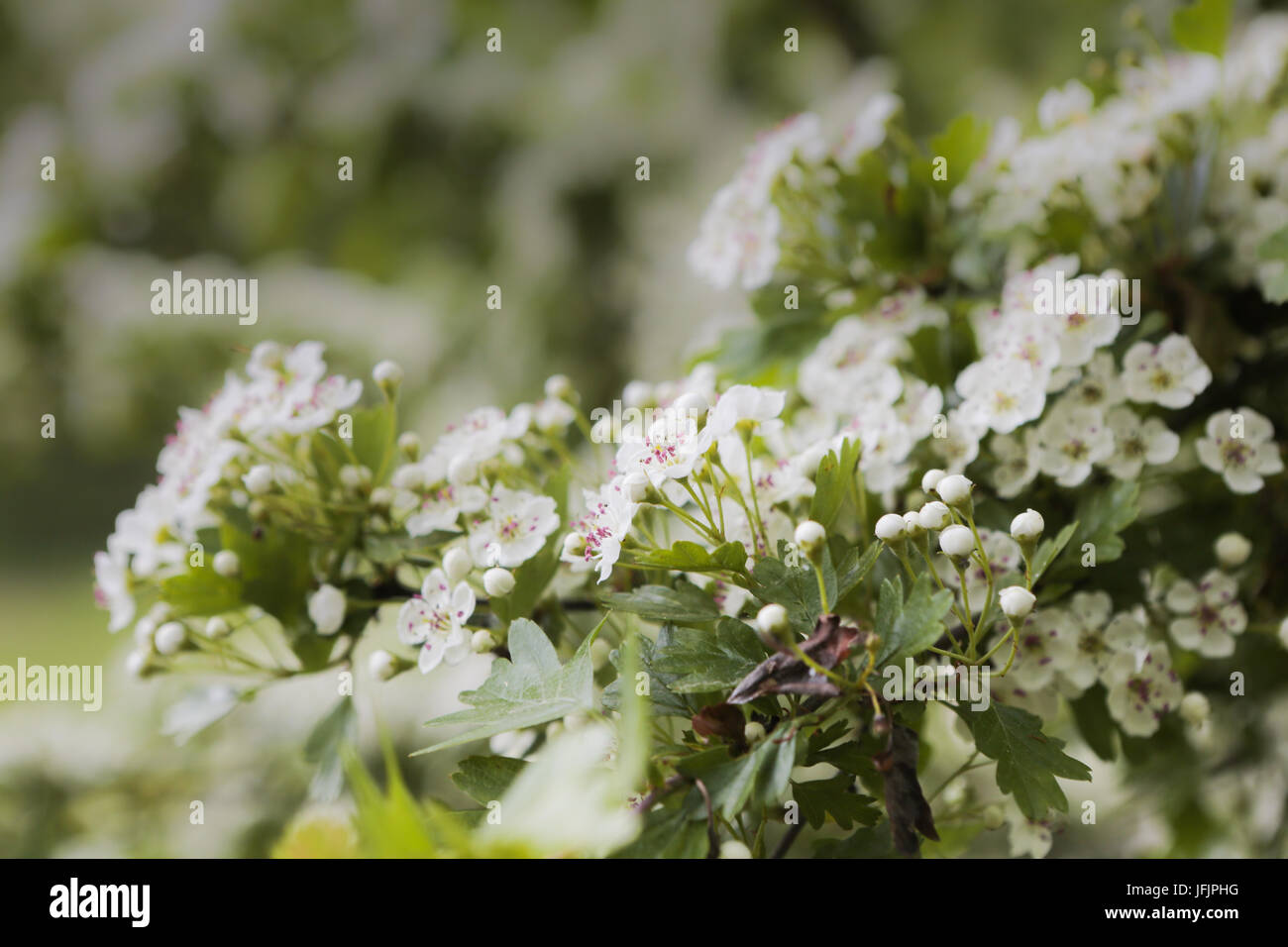 whitethorn, hawthorn abloom Stock Photo