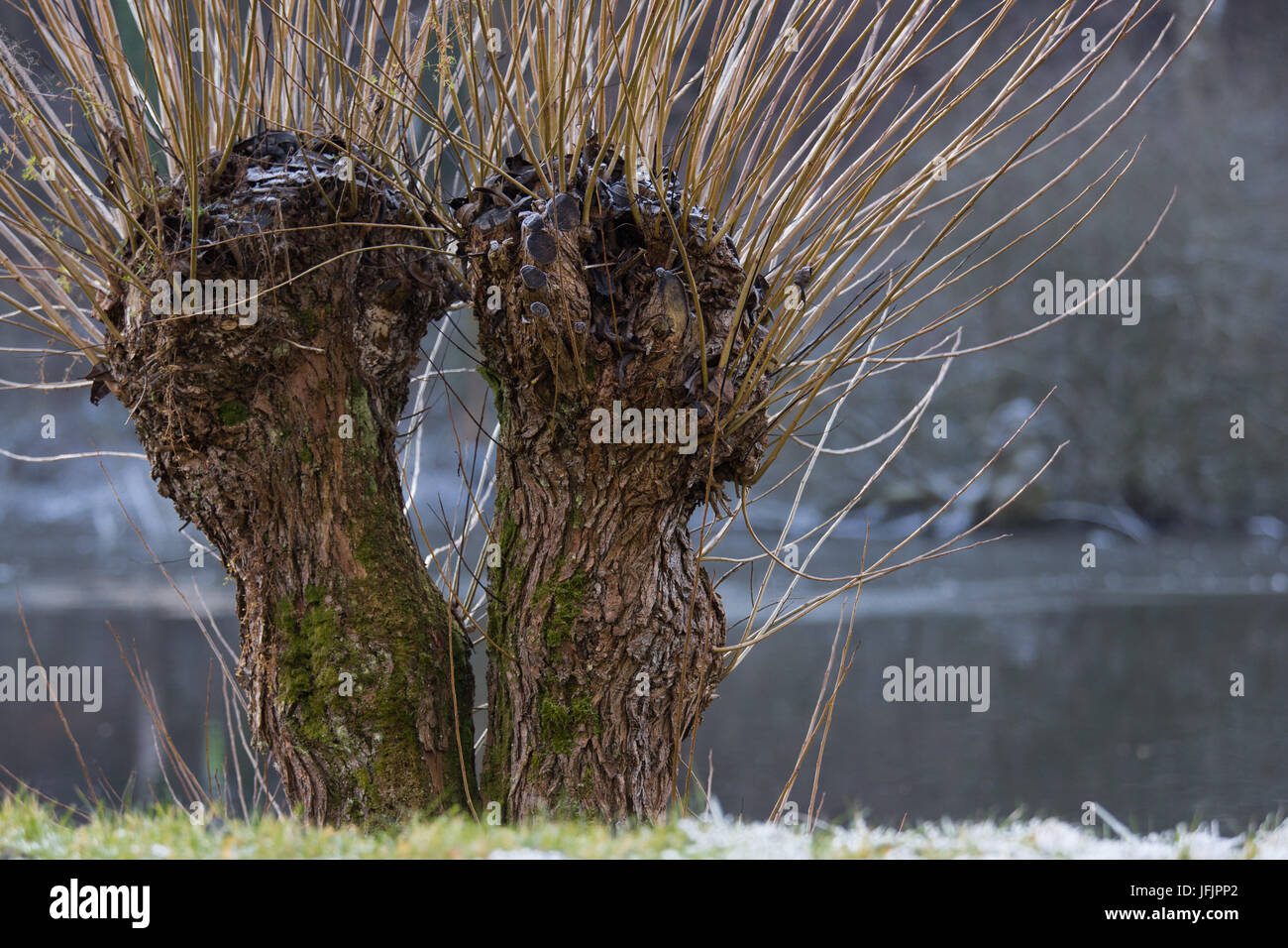 willow tree, with hoarfrost - Stock Image