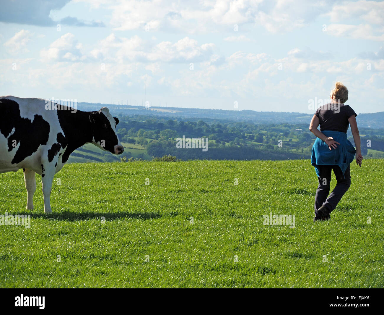 A woman walking in farmland takes evasive action from a black and white dairy cow on a sunny day in Cumbria, England,UK - Stock Image