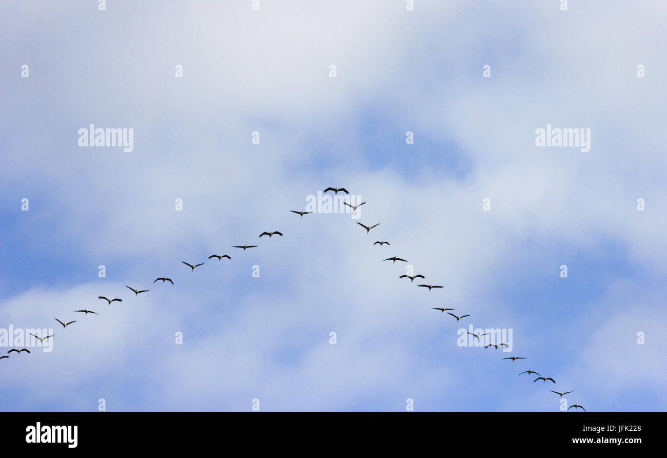 common cranes in flight formation at passage of birds - Stock Image