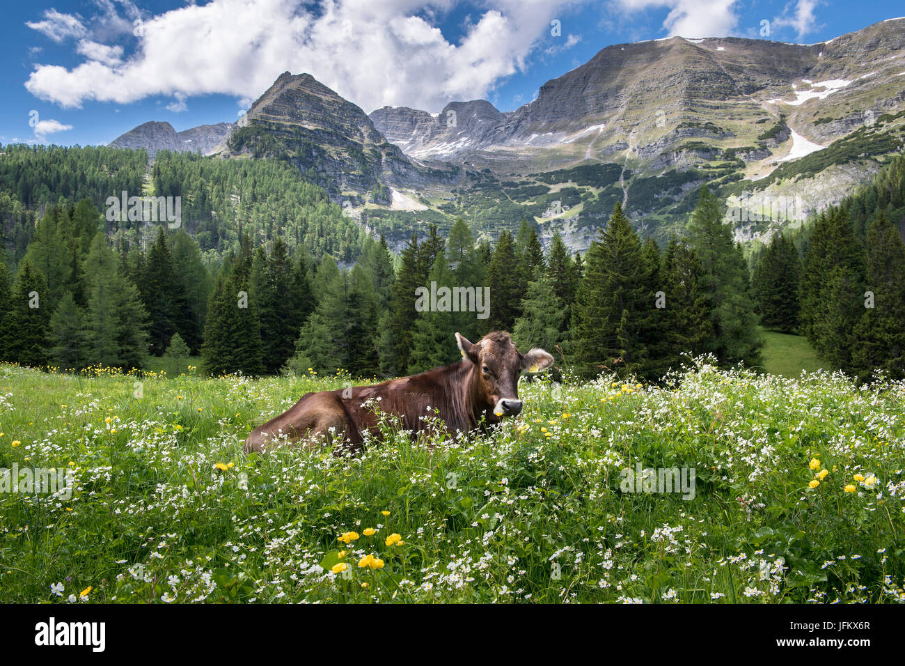 Cow in flower meadow, Wurzeralm, Warscheneck, Upper Austria, Austria Stock Photo