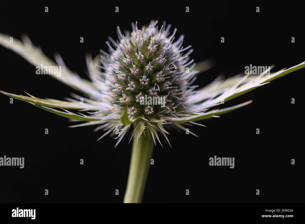 Close up of flower head of Eryngium Neptunes Gold, Shepperton, England, U.K. - Stock Image