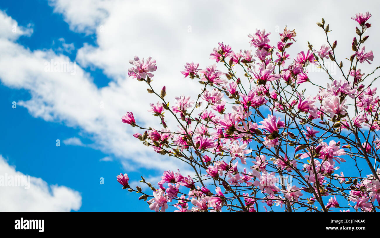 Pink Forsythia Bush With Blue Sky And Clouds Stock Photo