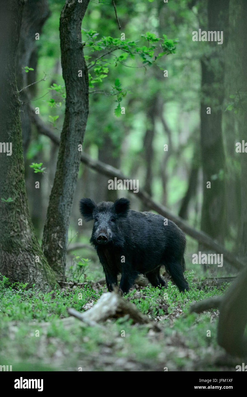 Wild boar with winter coat in an oak forest in early spring. Veluwe, Netherlands - Stock Image