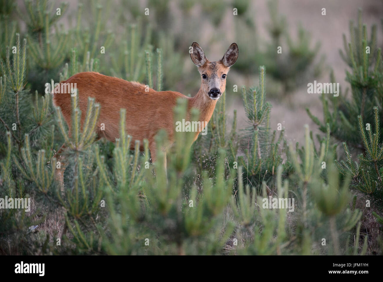Roe deer female between youne pine trees. Hoge Veluwe National Park, Netherlands - Stock Image