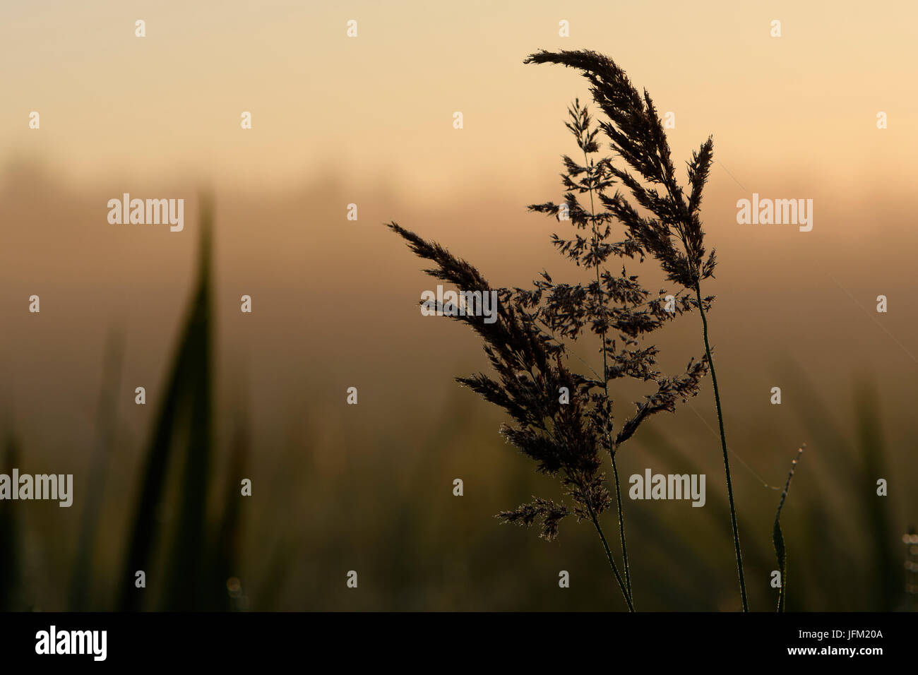 Grasses with dew in backlight during sunrise - Stock Image