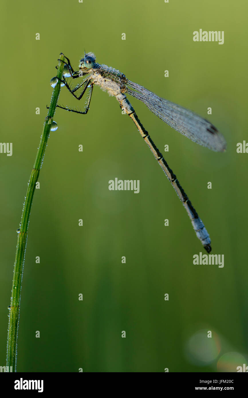 Emerald Damselfly or Common Spreadwing (Lestes sponsa) with dew on a misty summer morning. - Stock Image