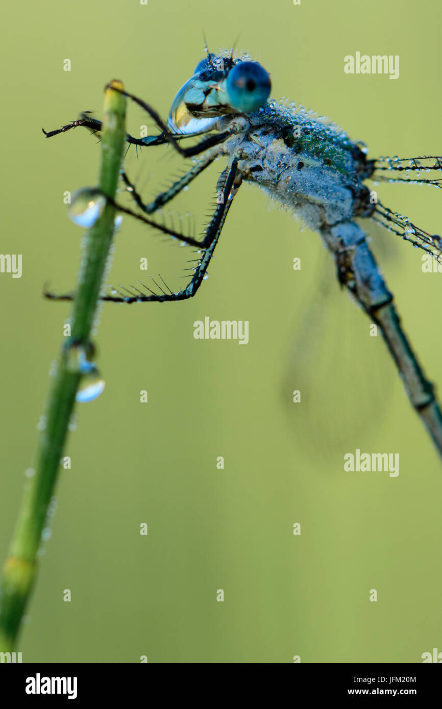 Emerald Damselfly or Common Spreadwing (Lestes sponsa) drinking from a dew drop on a misty summer morning. - Stock Image