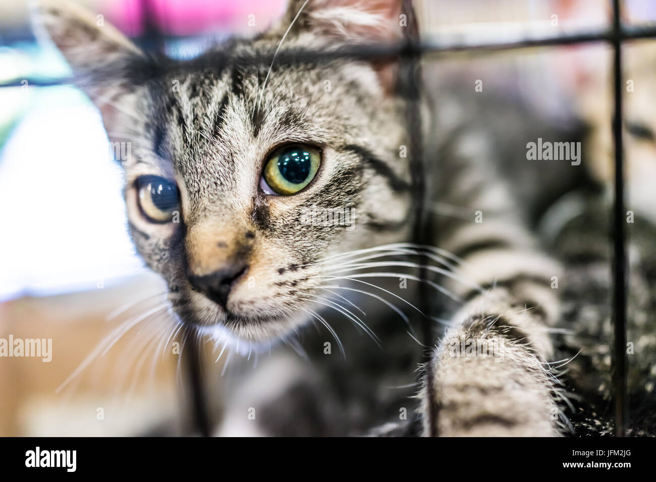 Portrait of one tabby kitten playing in cage waiting for adoption - Stock Image